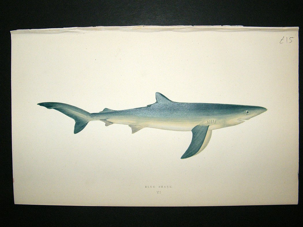 Uncategorized Shark Images To Print image gallery of shark pictures to print