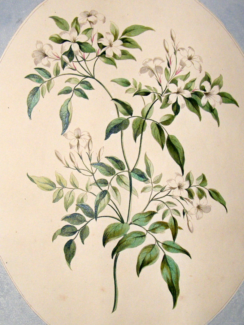 Pictures Of Star Jasmine Flower Drawing Kidskunstfo