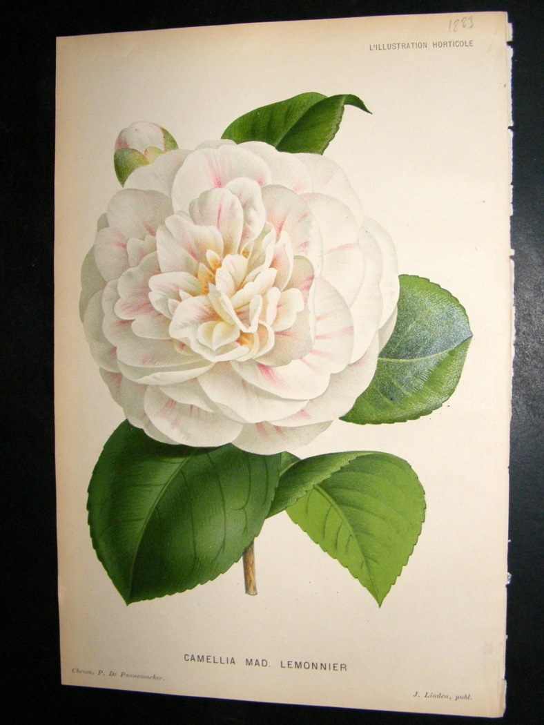 Camellia Illustration L Illustration Horticole 1883