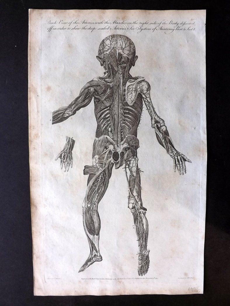 Hall 1791 Antique Anatomy Print. Back View of the Arteries