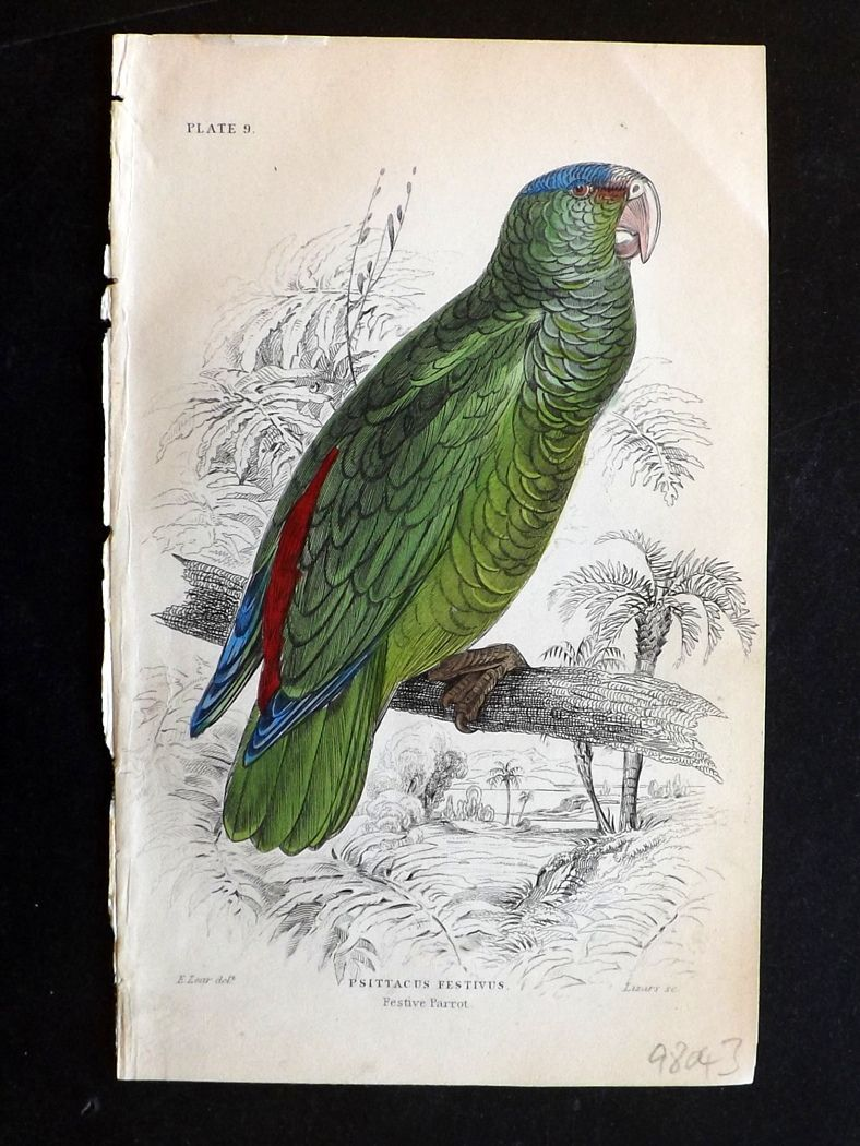 Festive Parrot. After Edward Lear