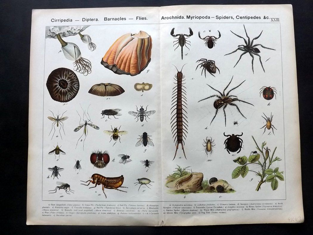 Kirby & Schubert 1889 Antique Print. Spiders Gnat Fly Flea. Insects