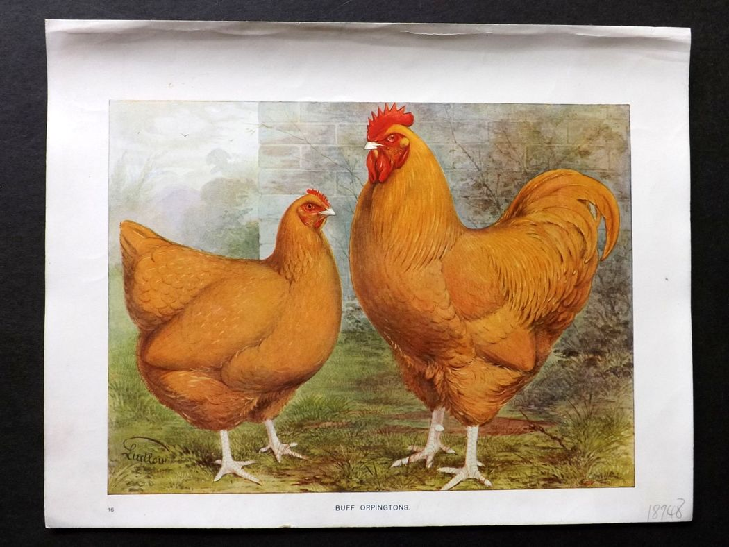 Wrights Poultry Prints Buff Orpingtons