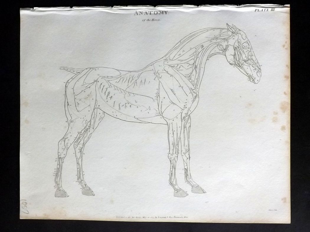 Rees 1820 Antique Print Anatomy Of The Horse After George Stubbs 03