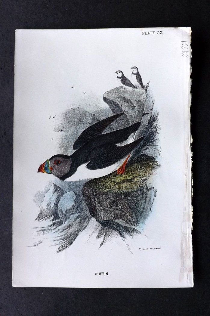 Lloyd 1896 Antique Bird Print. Puffin