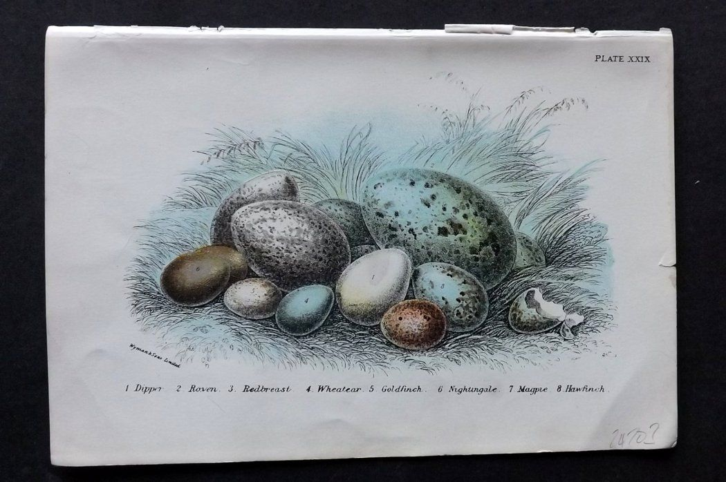 Lloyd 1896 Antique Bird Egg Print. Dipper, Raven, Robin, Wheatear, Goldfinch
