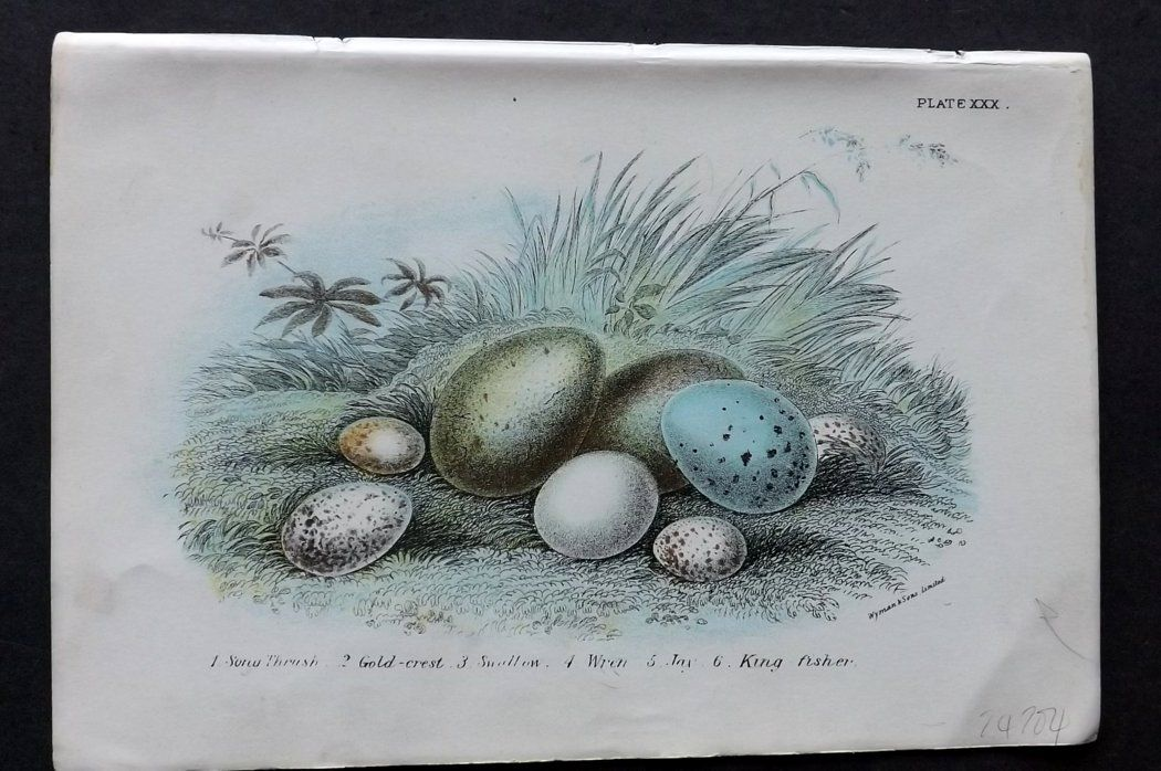 Lloyd 1896 Antique Bird Egg Print. Song Thrush, Goldcrest, Wren, Jay, Kingfisher