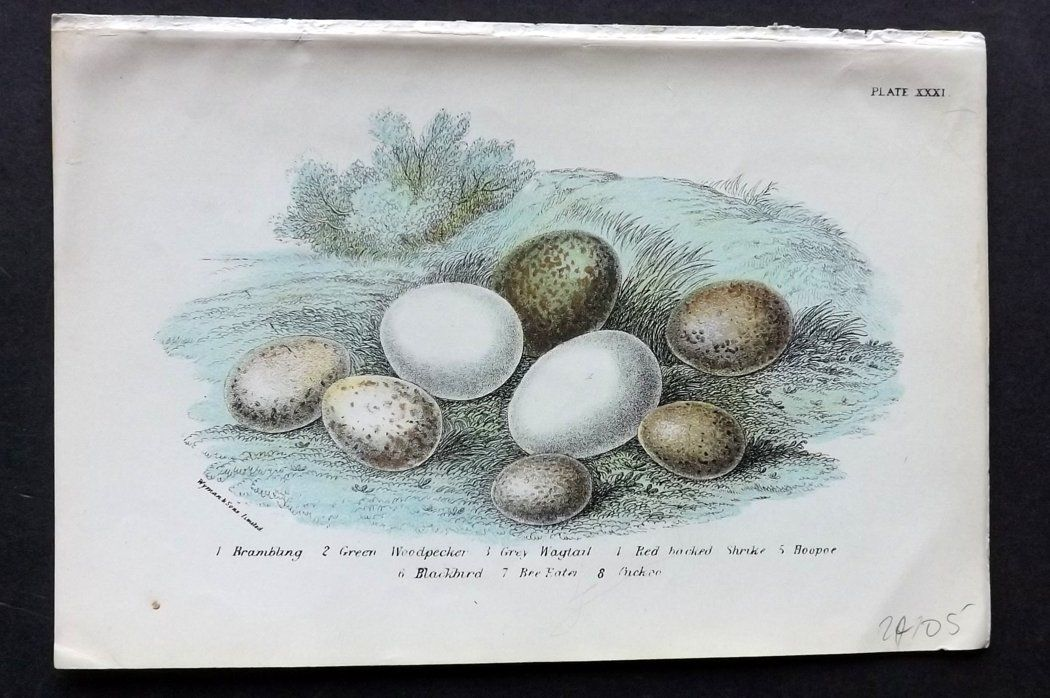 Lloyd 1896 Antique Bird Egg Print. Brambling, Green Woodpecker, Grey Wagtail
