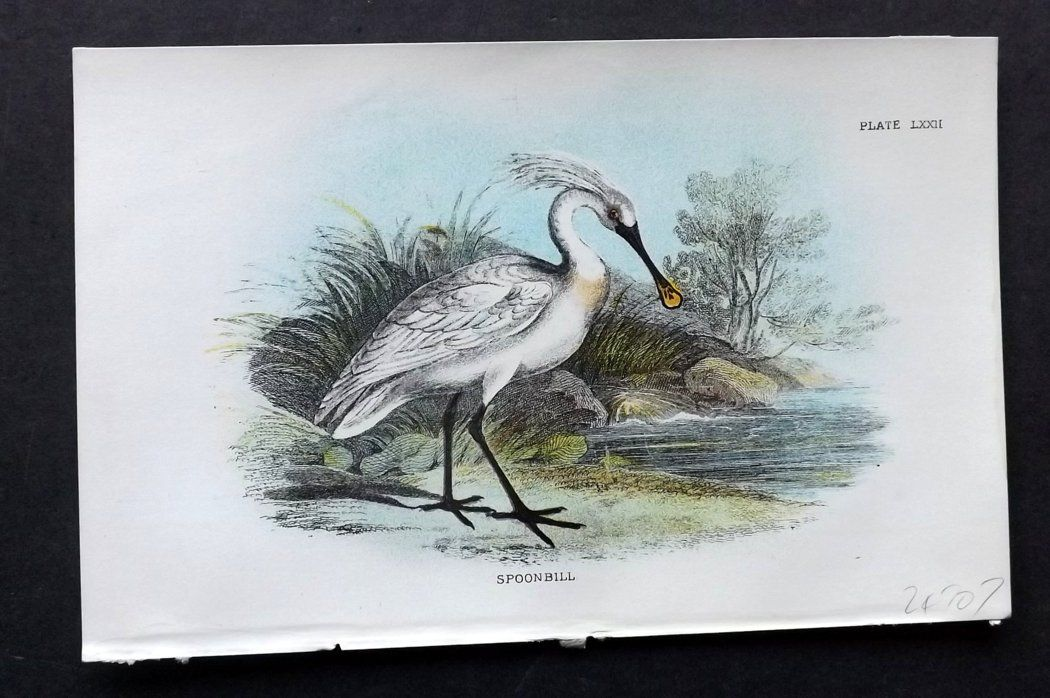 Lloyd 1896 Antique Bird Print. Spoonbill
