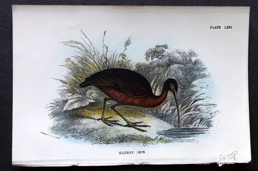 Lloyd 1896 Antique Bird Print. Glossy Ibis