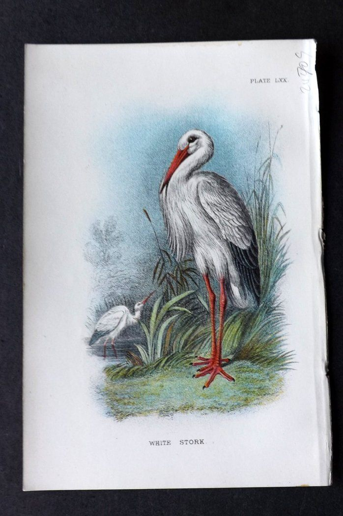 Lloyd 1896 Antique Bird Print. White Stork