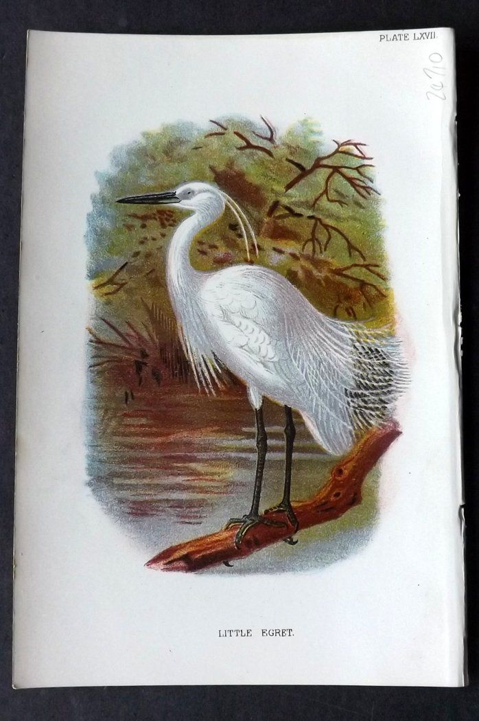 Lloyd 1896 Antique Bird Print. Little Egret