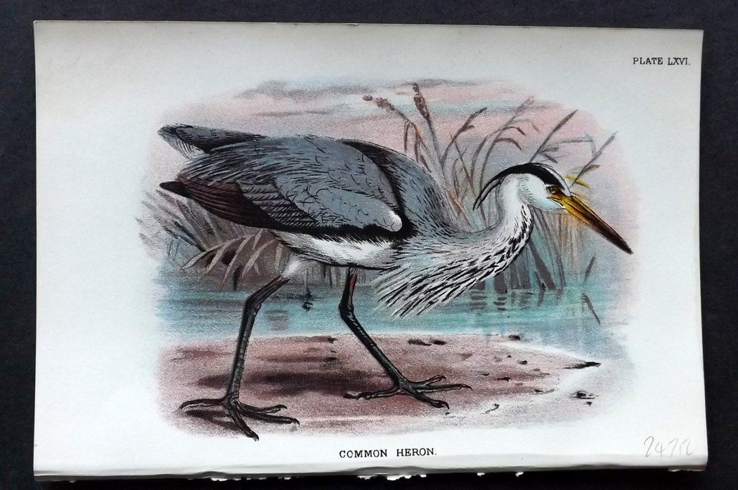 Lloyd 1896 Antique Bird Print. Common Heron