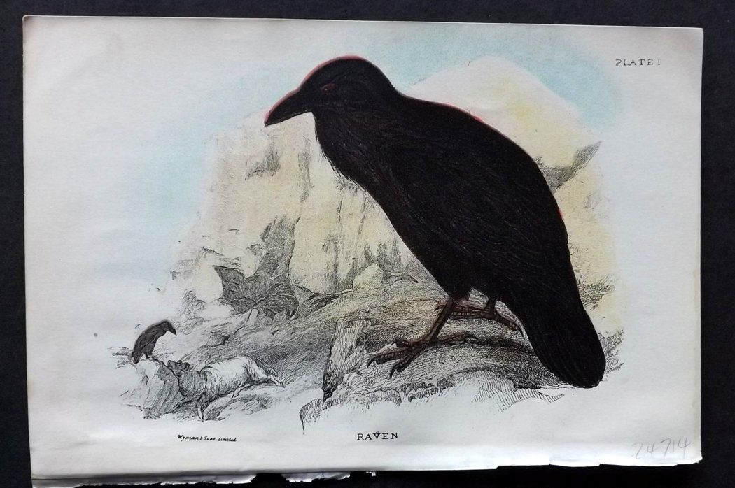 Lloyd 1896 Antique Bird Print. Raven
