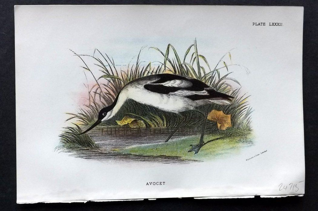 Lloyd 1896 Antique Bird Print. Avocet