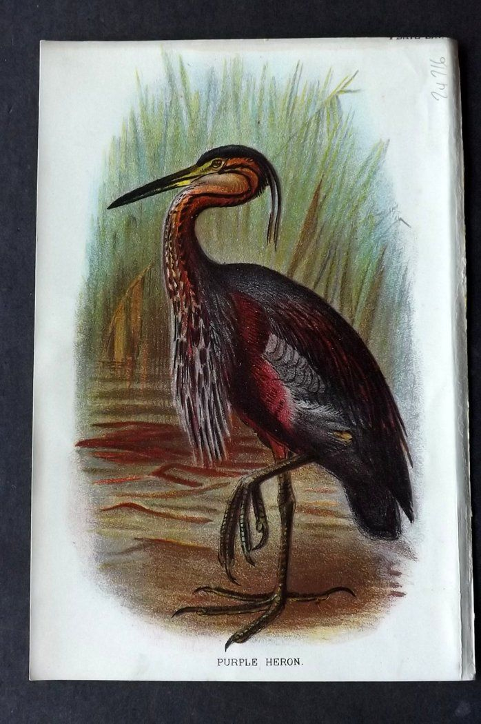 Lloyd 1896 Antique Bird Print. Purple Heron