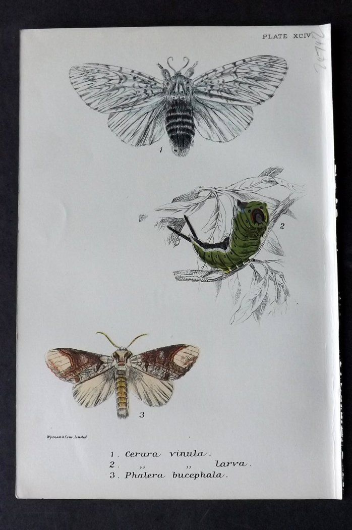 Lloyd 1896 Antique Moth Print. Cerura, Phalera