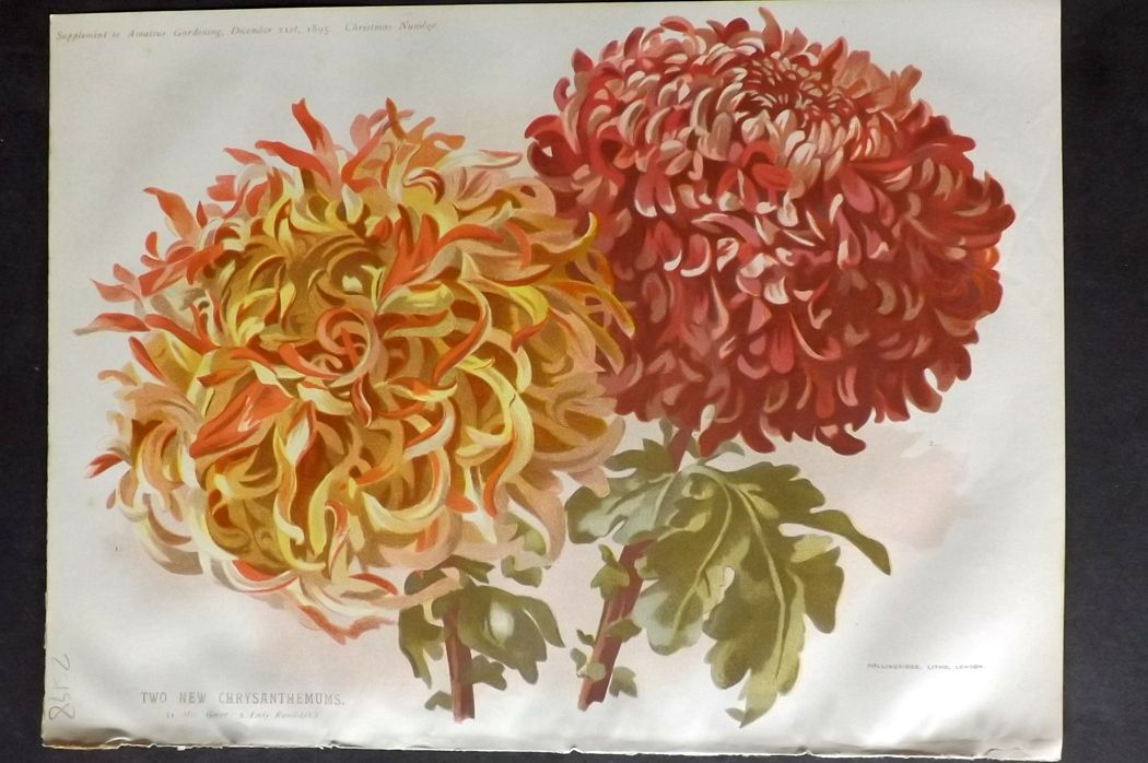 Amateur Gardening 1895 Botanical Print. Two New Chrysanthemum
