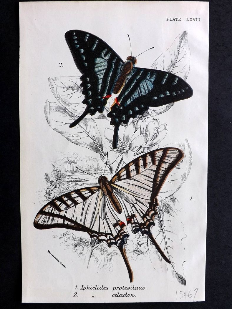 Lloyd 1894 Antique Butterfly Print. Iphiclides Protesilaus, Celadon.