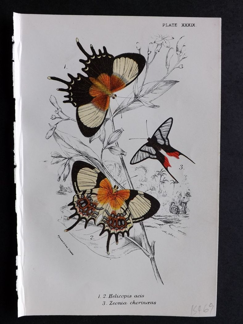 Lloyd 1894 Antique Butterfly Print. Helicopis, Zeonia.