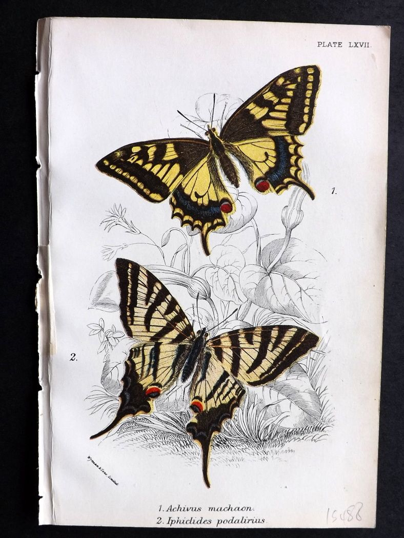 Lloyd 1894 Antique Butterfly Print. Achives, Iphiclides.
