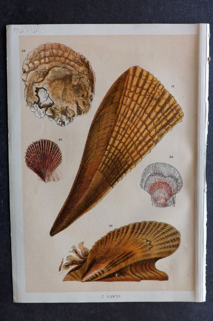 Gordon C1900 Antique Shell Print 03