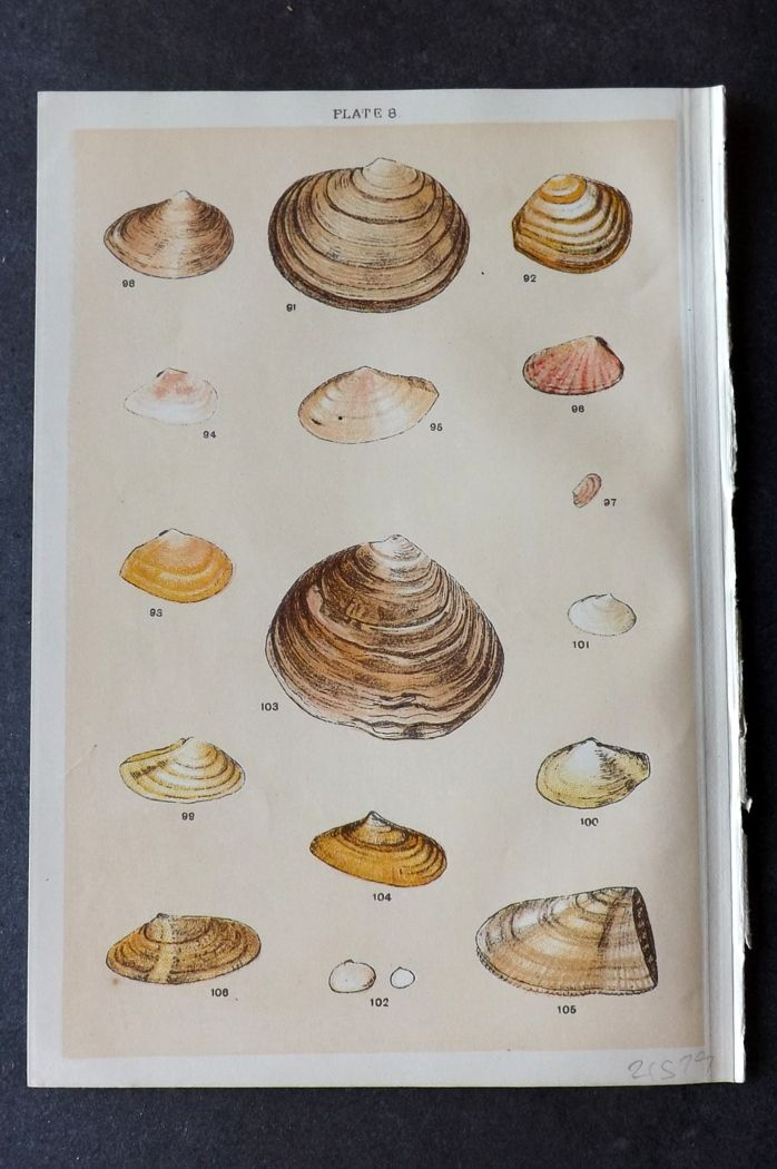 Gordon C1900 Antique Shell Print 08