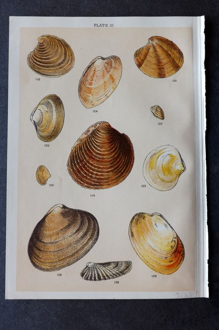 Gordon C1900 Antique Shell Print 10