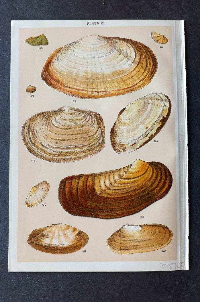 Gordon C1900 Antique Shell Print 12