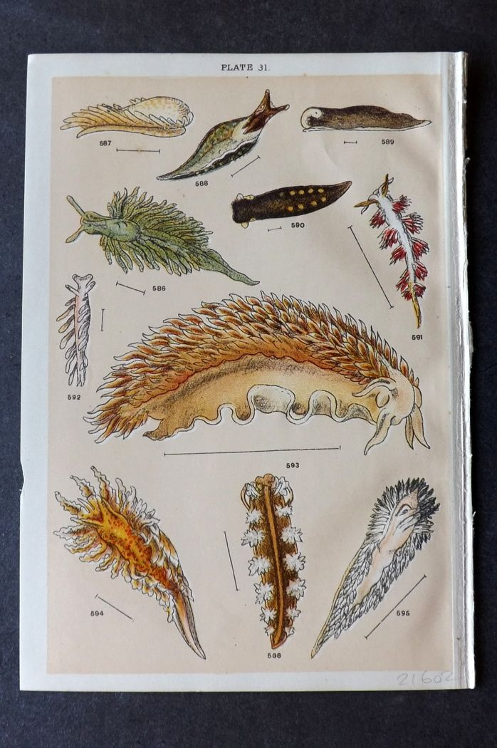 Gordon C1900 Antique Sea Life Print. Sea Slugs 31