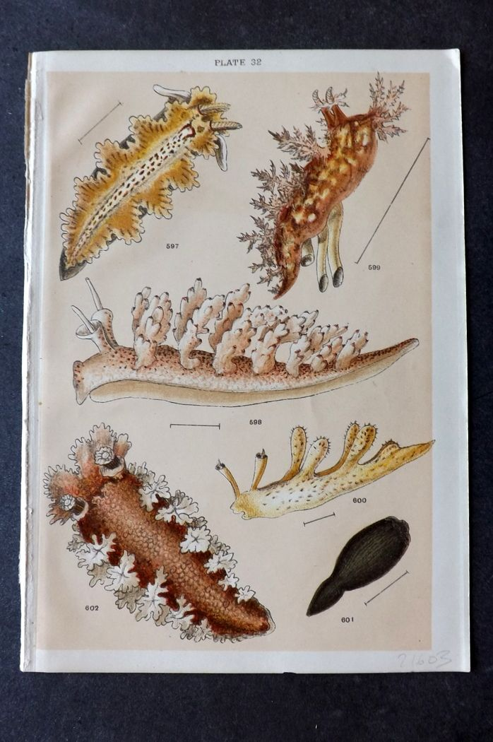 Gordon C1900 Antique Sea Life Print. Sea Slugs 32