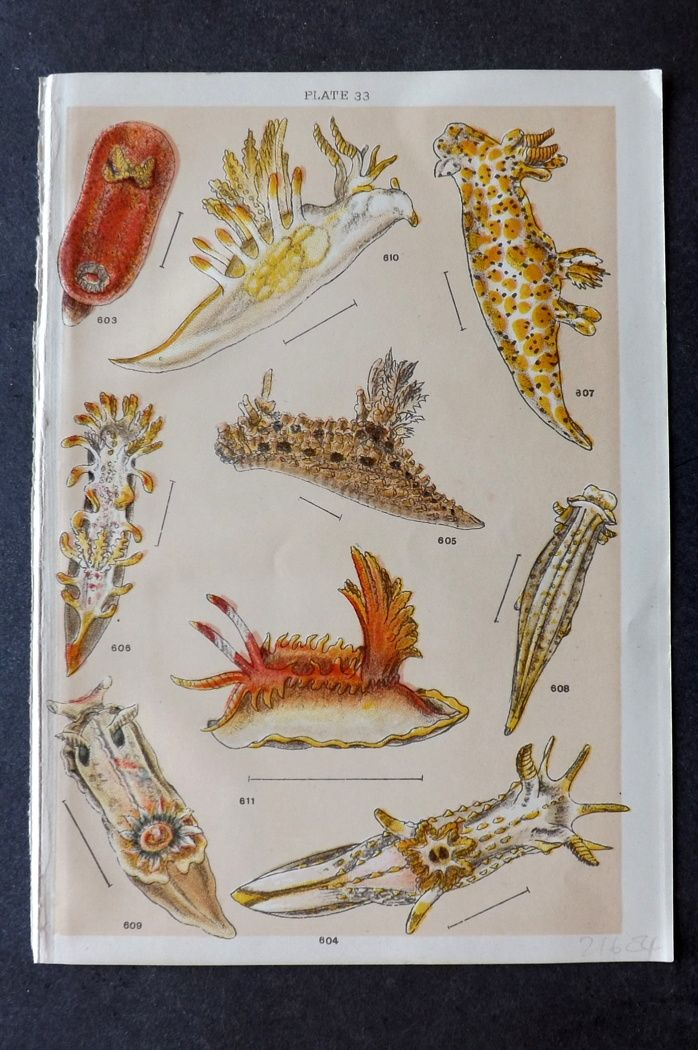 Gordon C1900 Antique Sea Life Print. Sea Slugs 33