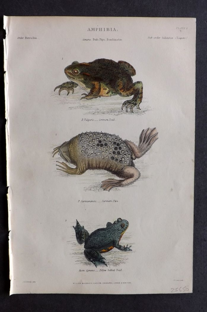Richardson 1859 HC Print. Common Toad, Surinam Pipa, Yellow Bellied Toad
