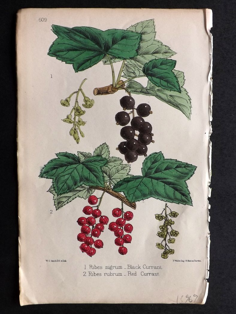 Hogg & Johnson C1870 Hand Col Botanical Print. Black and Red Currant 609