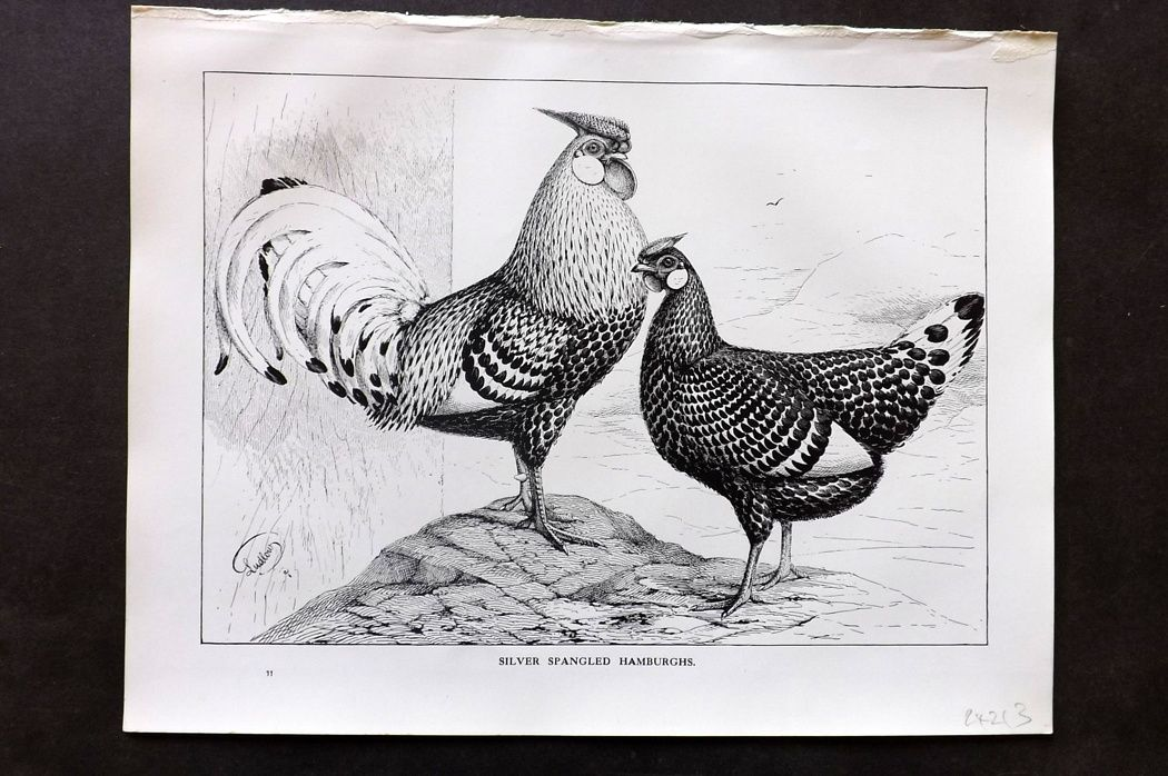 Wright & Ludlow C1910 Poultry Print. Silver Spangled Hamburghs