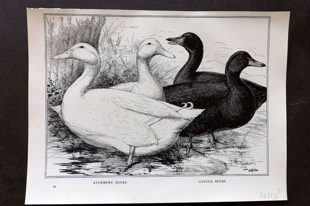 Wright & Ludlow C1910 Poultry Print. Aylesbury Ducks. Cayuga Ducks