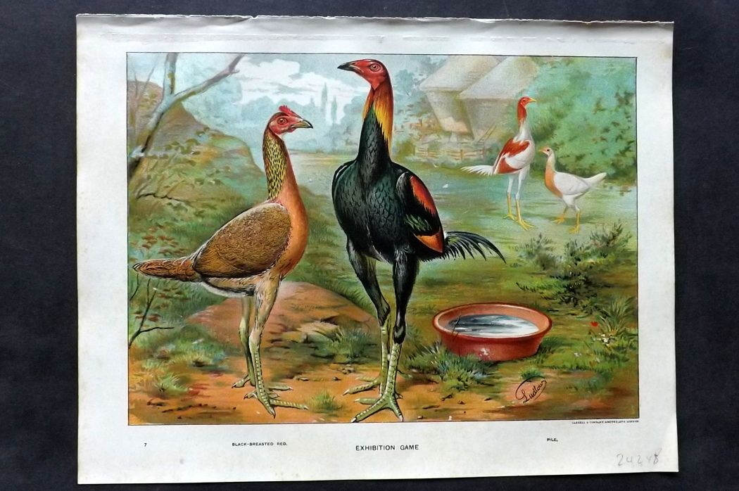 Wright & Ludlow C1910 Poultry Print. Exhibition Game