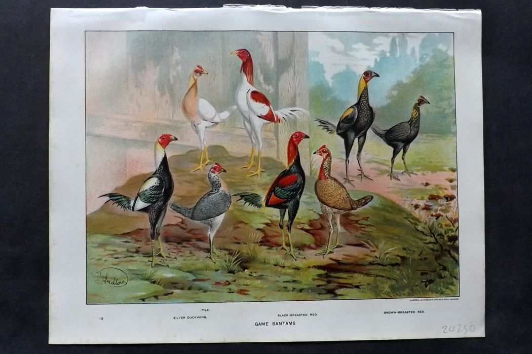 Wright & Ludlow C1910 Poultry Print. Game Bantams