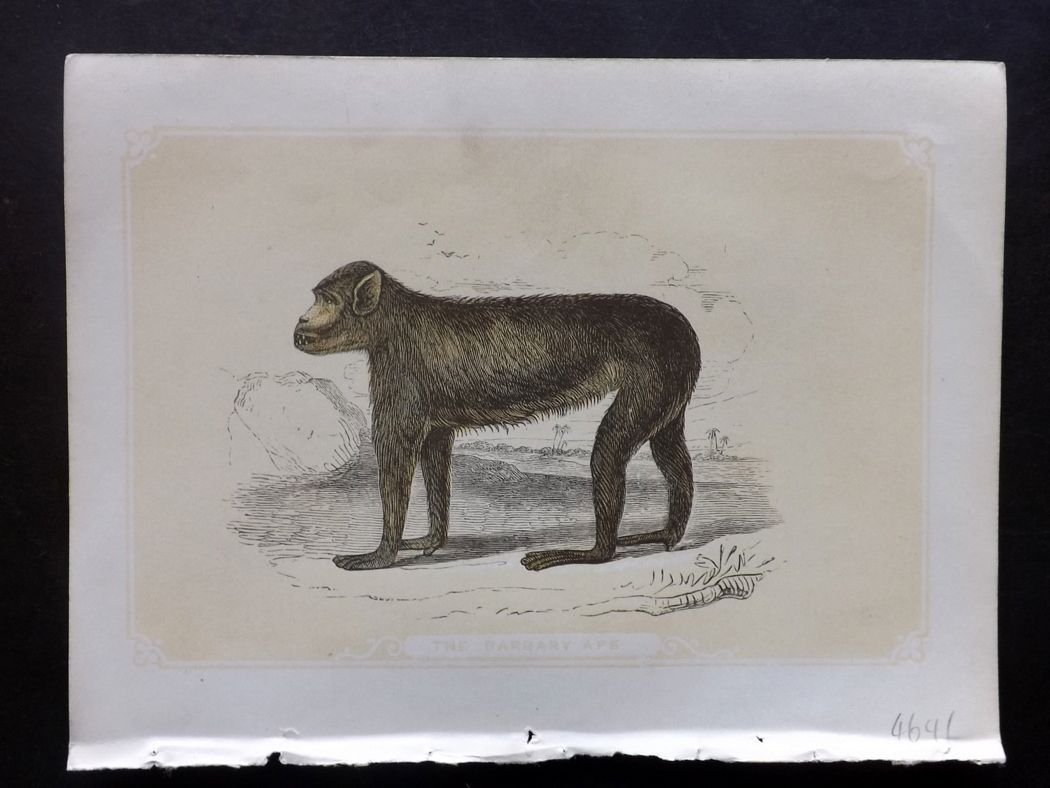 Bicknell 1851 Antique Print. Barbary Ape