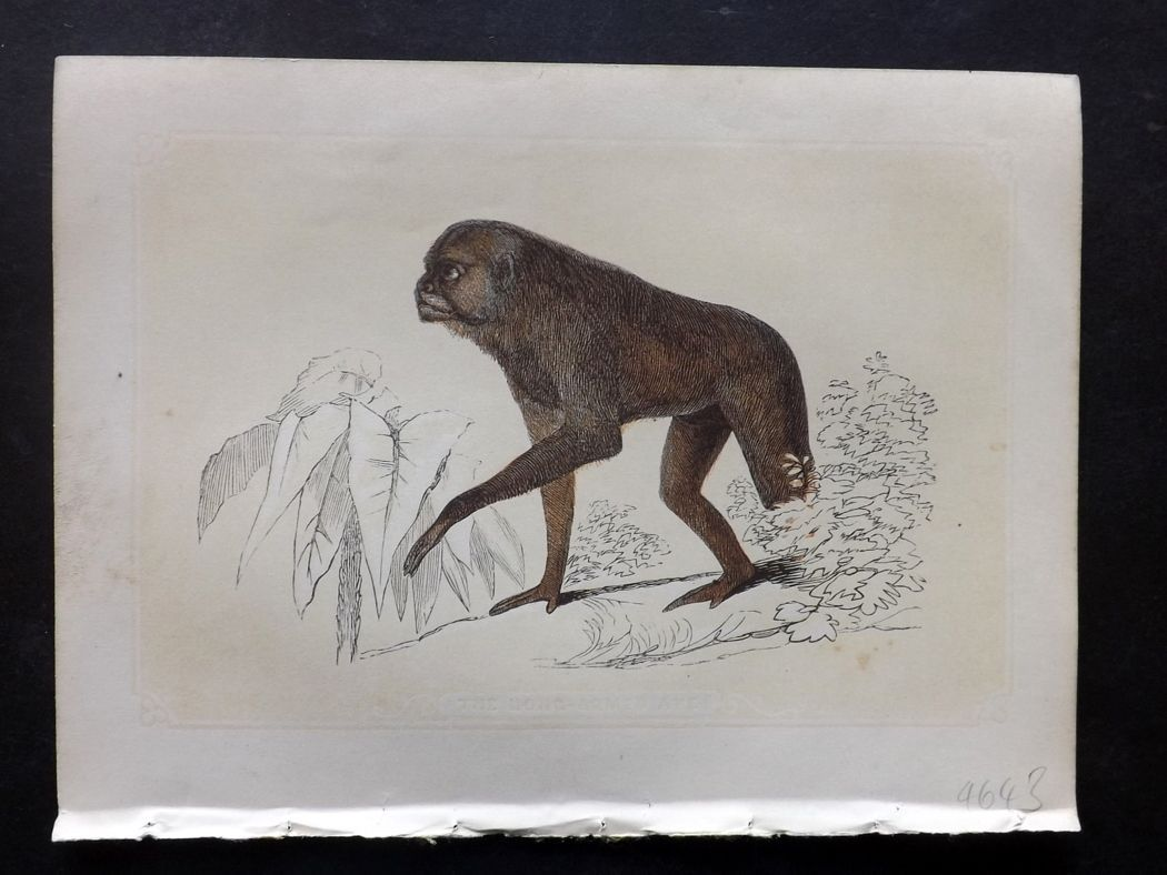 Bicknell 1851 Antique Print. Long Armed Ape