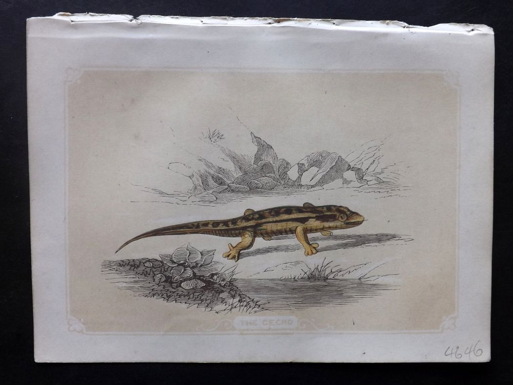 Bicknell 1851 Antique Print. Gecko Lizard