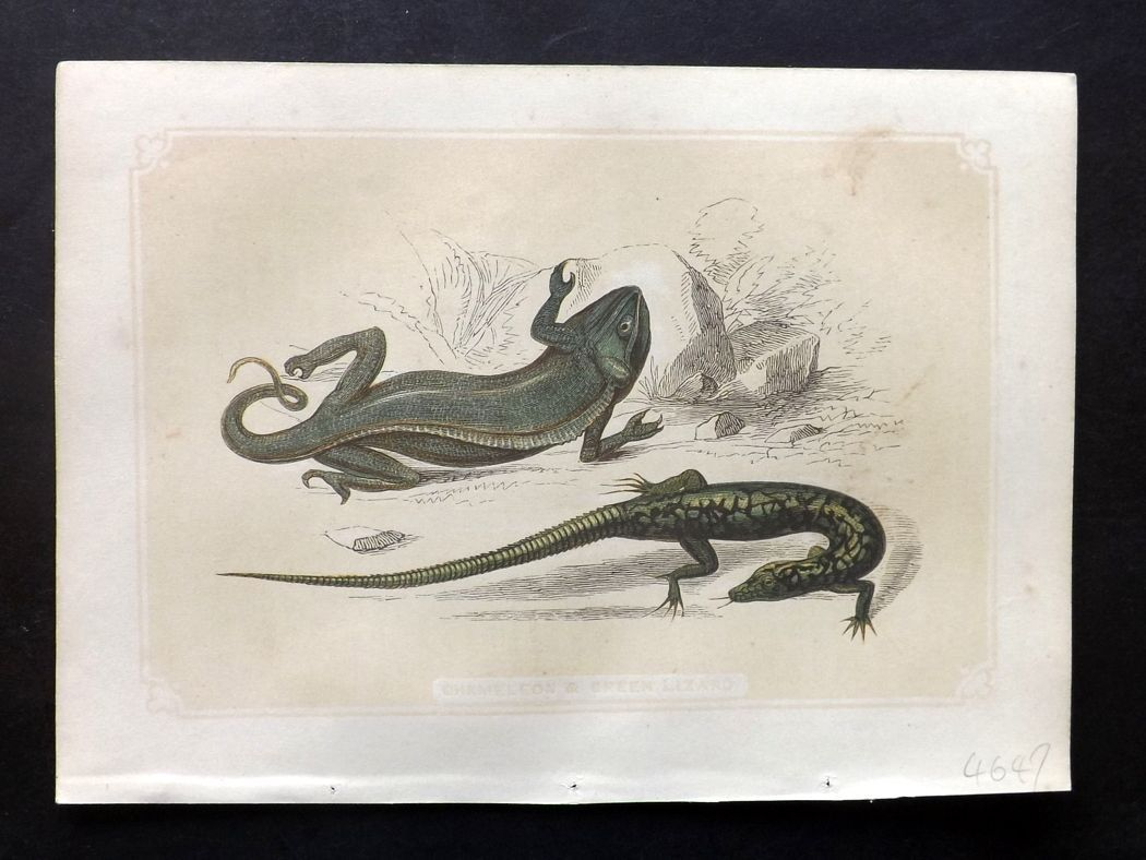 Bicknell 1851 Antique Print. Chameleon & Green Lizard