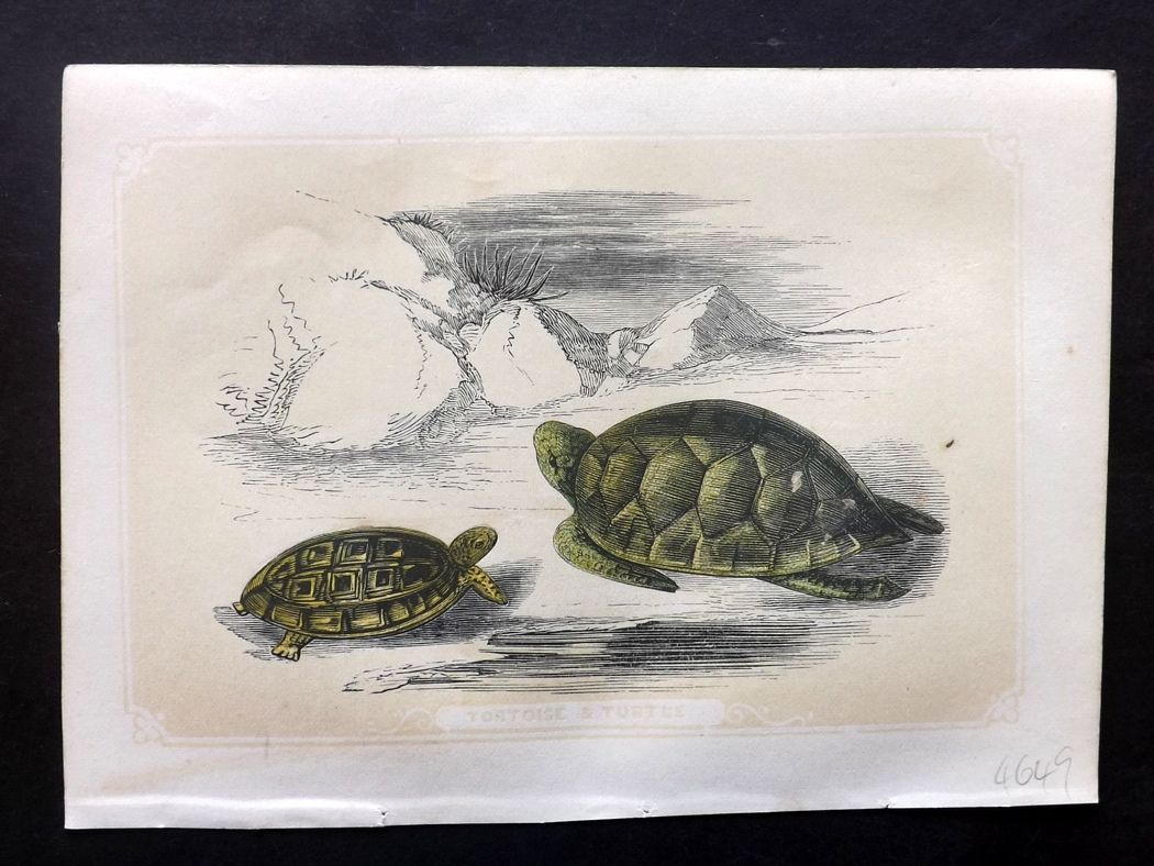Bicknell 1851 Antique Print. Tortoise & Turtle