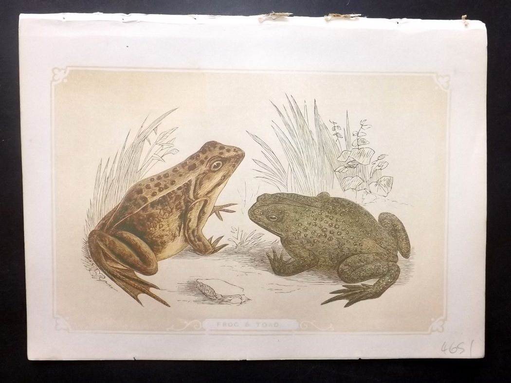 Bicknell 1851 Antique Print. Frog & Toad