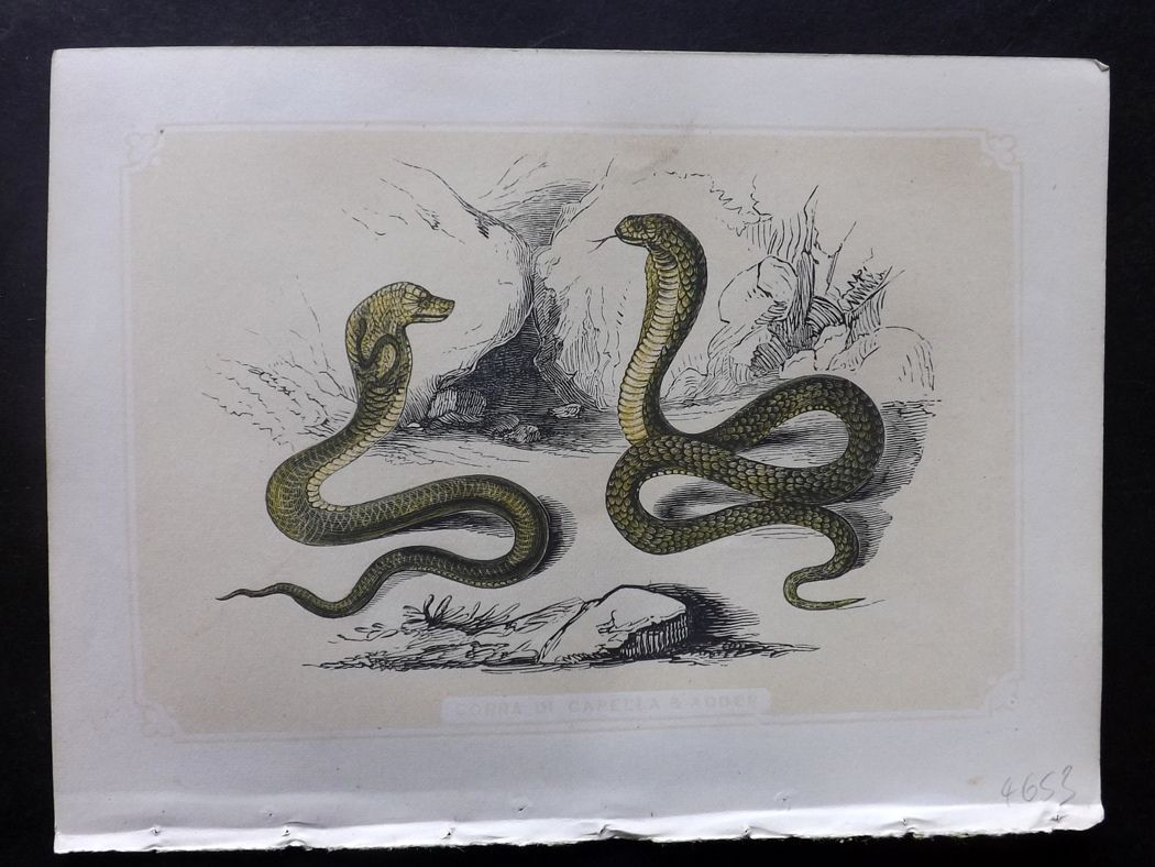 Bicknell 1851 Antique Print. Cobra di Capella & Adder