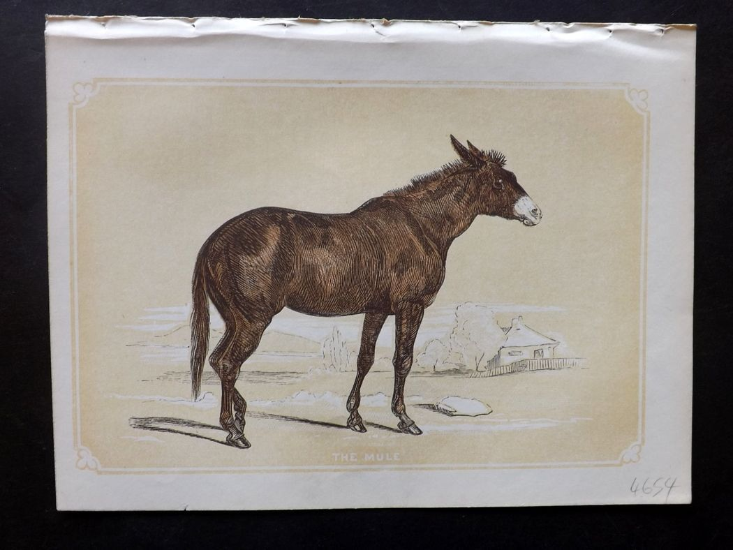 Bicknell 1851 Antique Print. The Mule