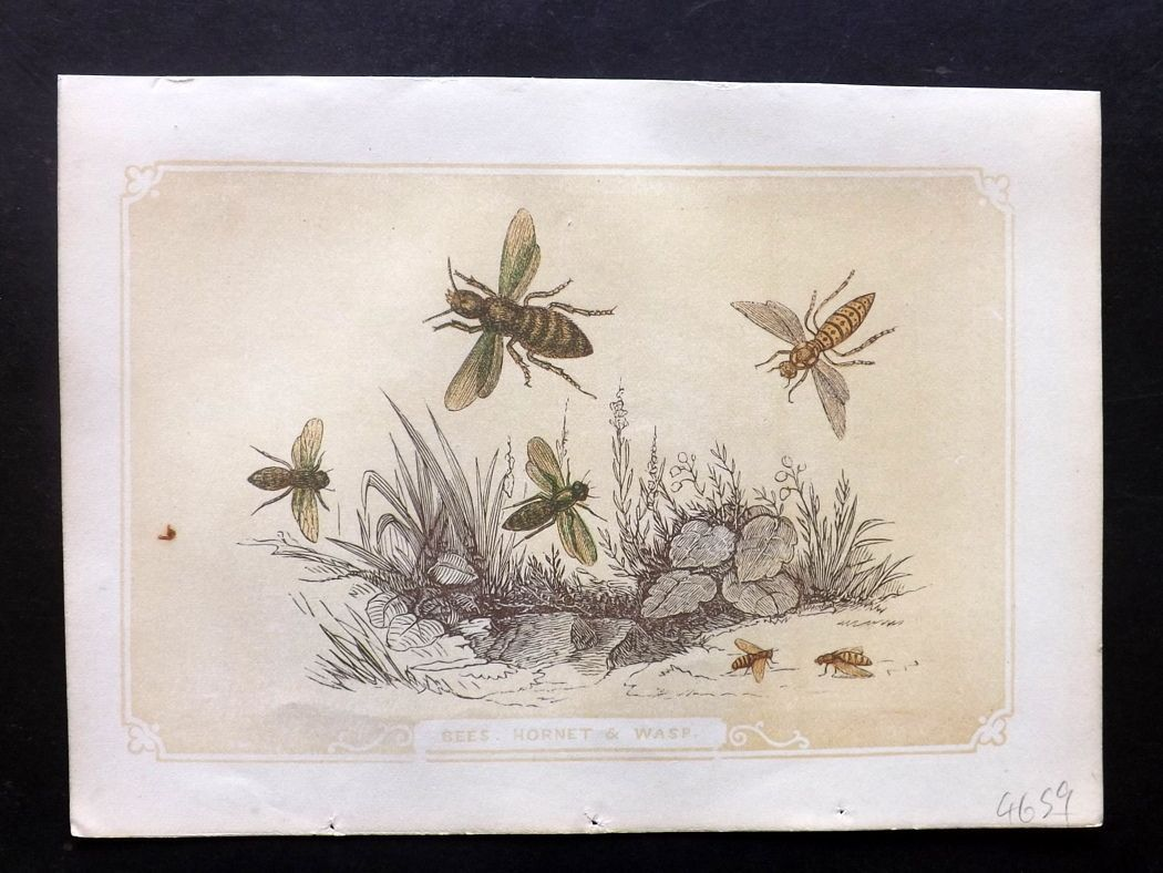 Bicknell 1851 Antique Print. Bees, Hornet & Wasp