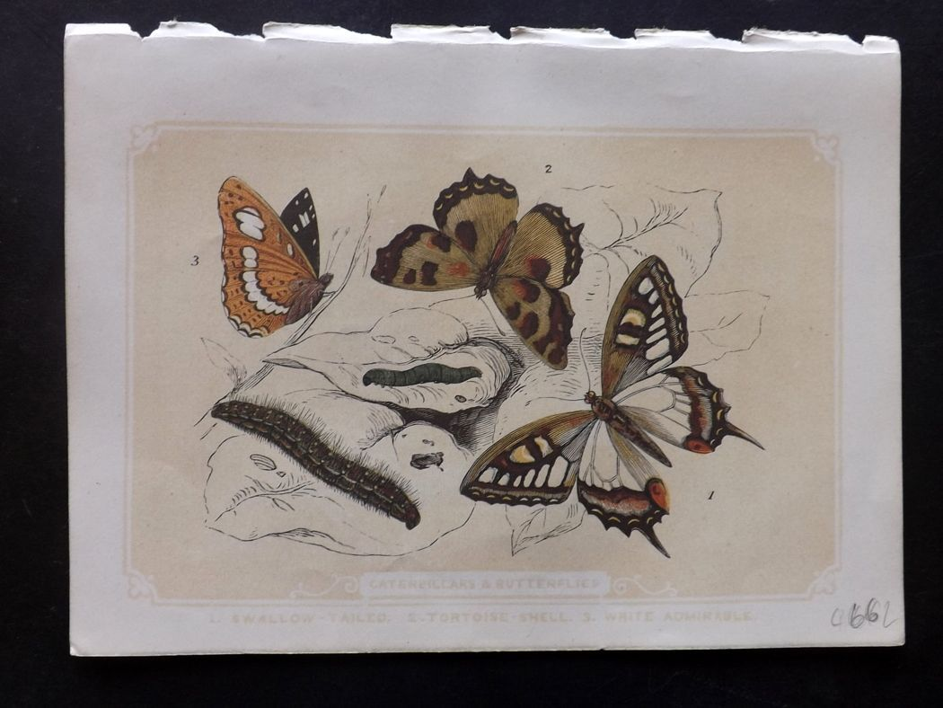 Bicknell 1851 Antique Print. Caterpillars & Butterflies