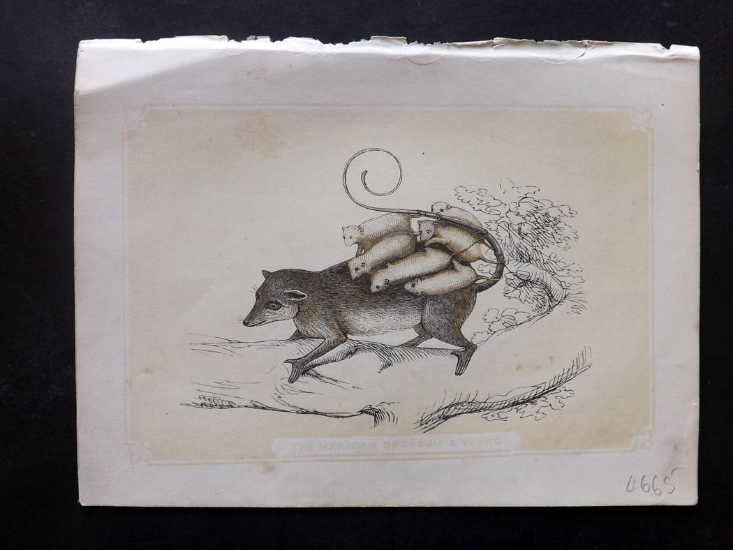 Bicknell 1851 Antique Print. Mexican Opossum & Young