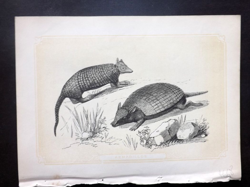 Bicknell 1851 Antique Print. Armadillo